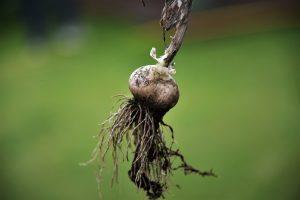 Knoblauch selbst anbauen ist ganz einfach